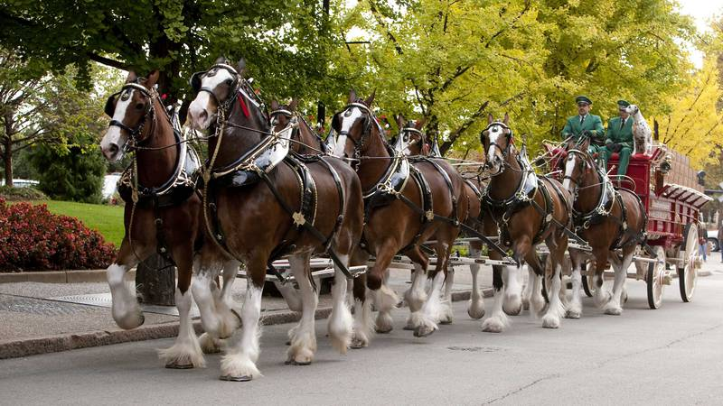 The Clydesdales will make appearances in Bowling Green and Cave City through the Fourth of July...