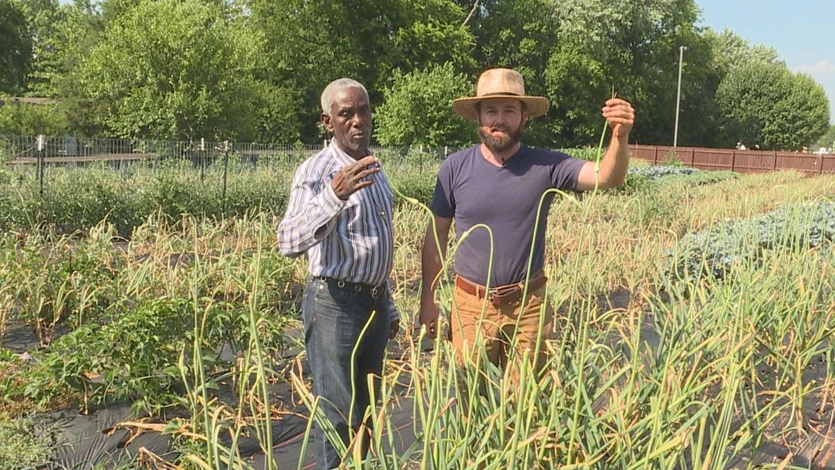 Garlic from the Refugee Farmer Commercial Garden in Bowling Green will be served up at a local restaurant this summer. (Photo: Madison Martin)